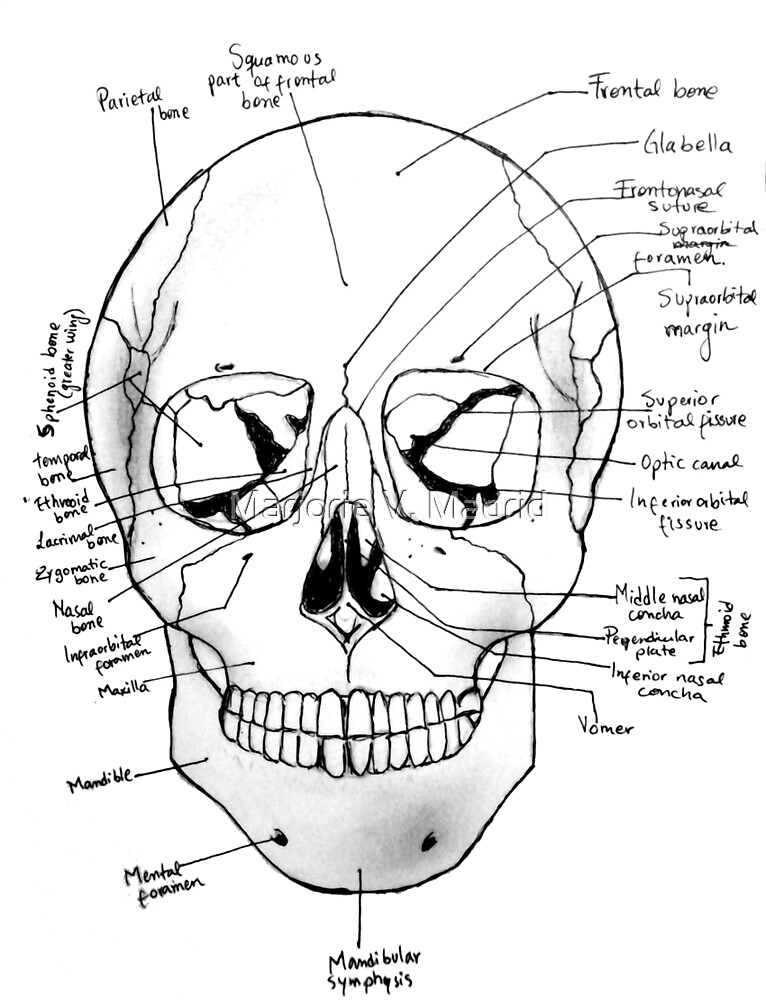 Labeled Skull by Marjorie V. Madrid