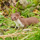 Weasel ~ Mustela nivalis by M S Photography/Art