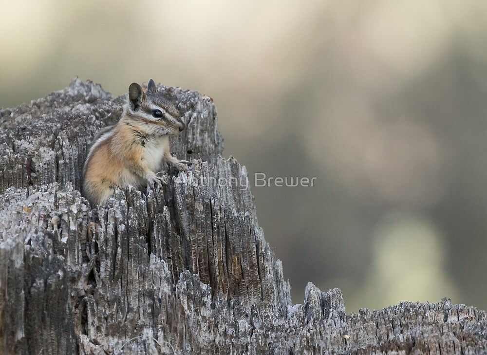 The chipmunk's domain by Anthony Brewer