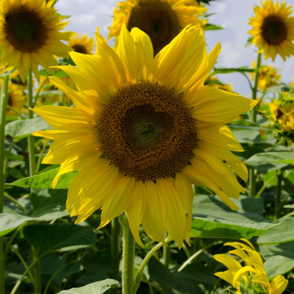 Sunflower: Lessons in Love by Janice Heppenstall