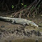 Crocodile - Chinaman Creek - Cairns by Paul Gilbert