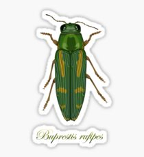 Buprestis rufipes - Red-legged Buprestis beetle Sticker