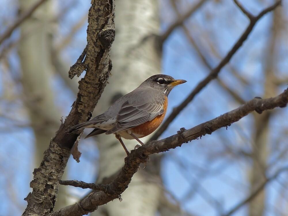 Robin by Barbara Brander