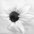 Portrait of a Daisy by LouiseK