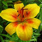 Amber Lily in the Rain von BlueMoonRose