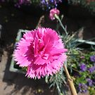 Pink Carnation and Bud by BlueMoonRose