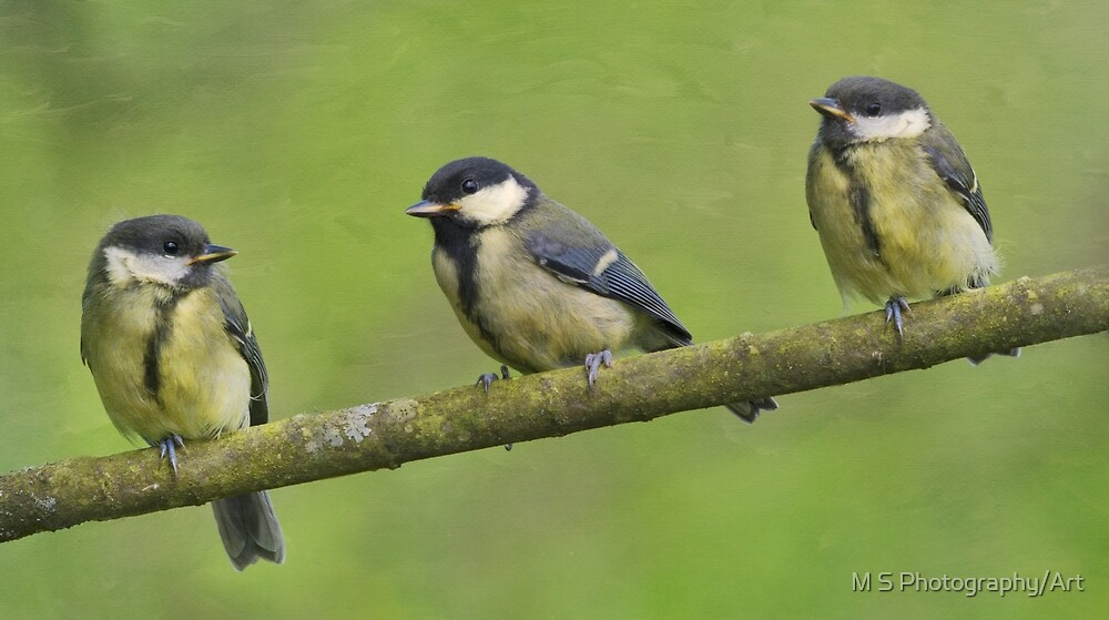 Three Little Tits by M S Photography/Art