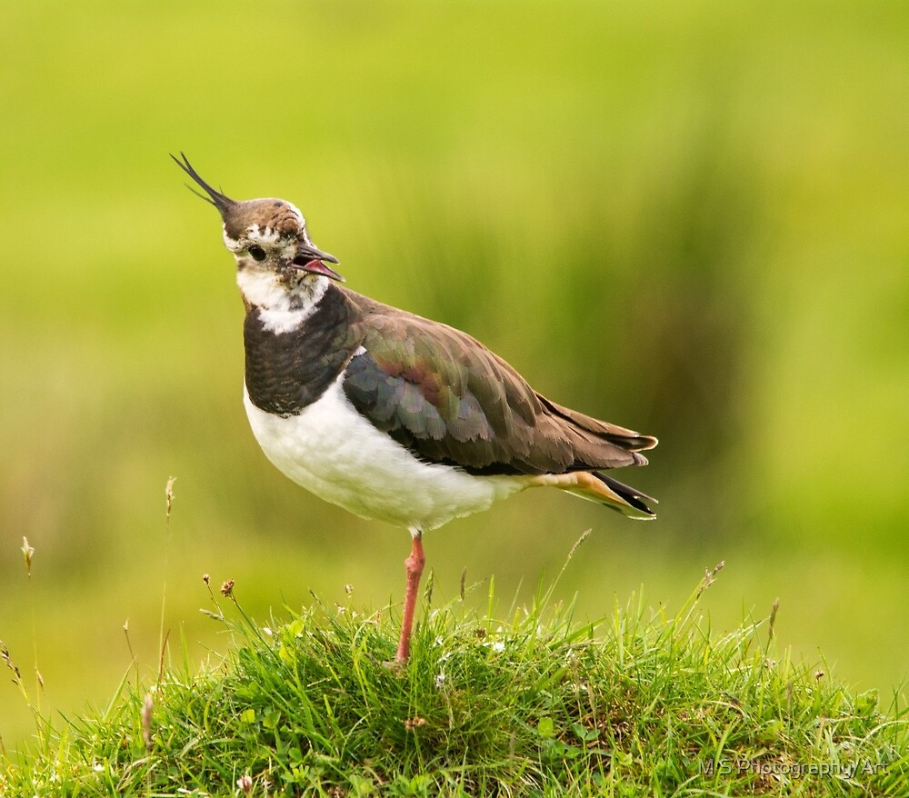Lapwing by M S Photography/Art