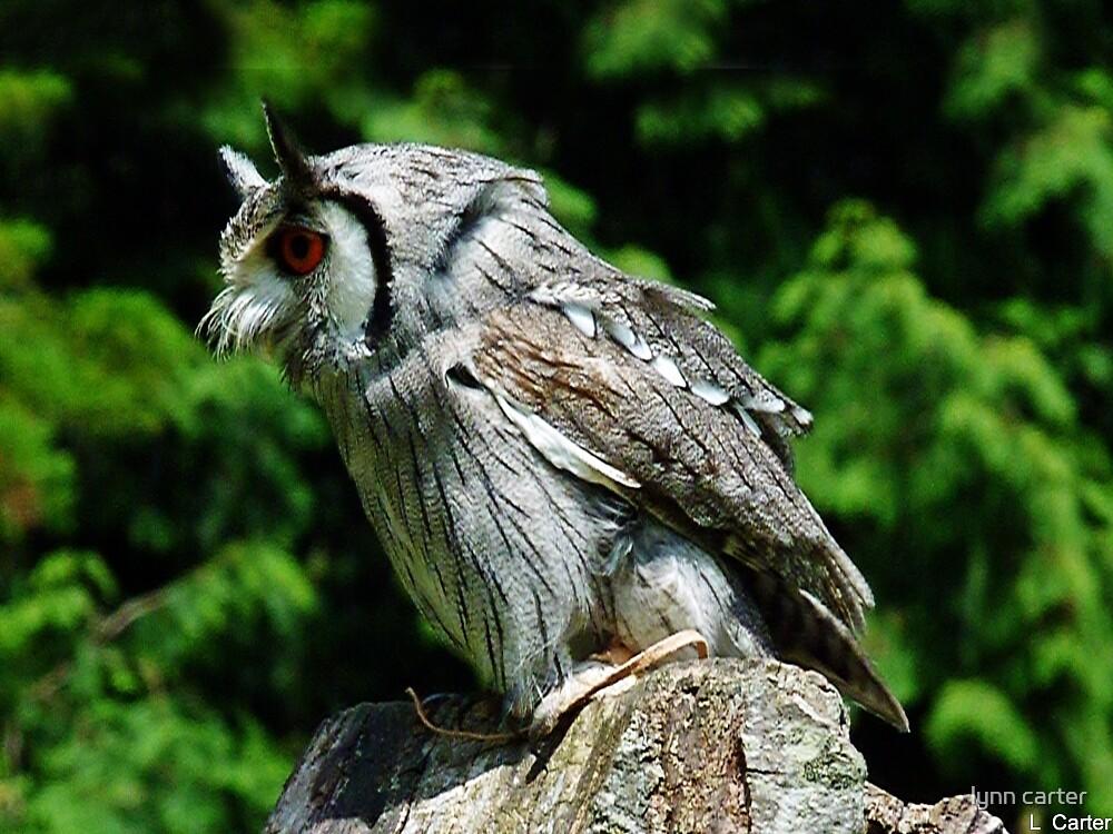 Owl by lynn carter