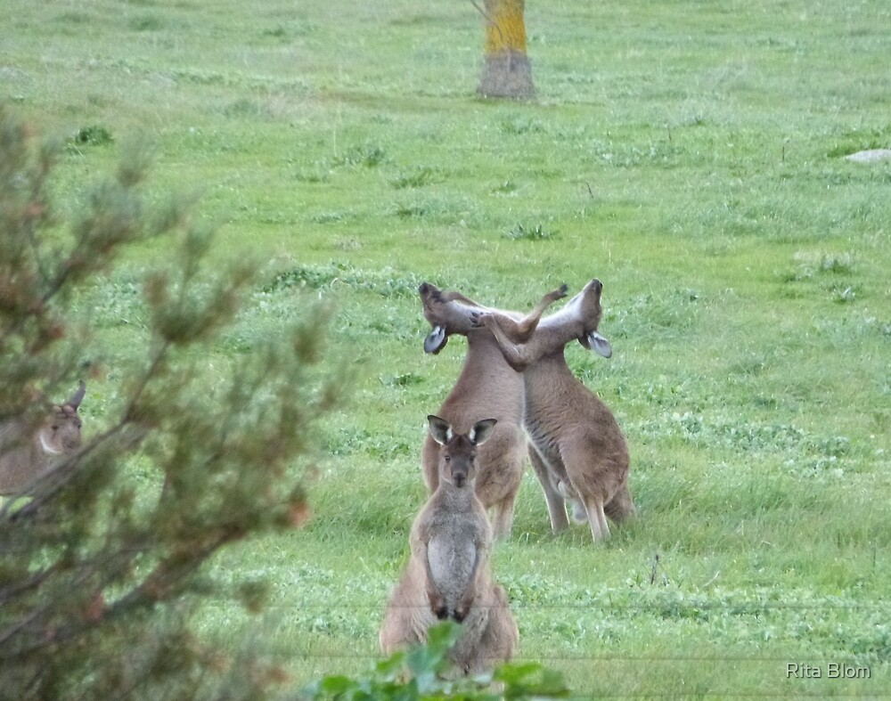 DON'T WATCH THEM! They're just being stupid! Western Grey Kangaroos, Mount Pleasant. by Rita Blom