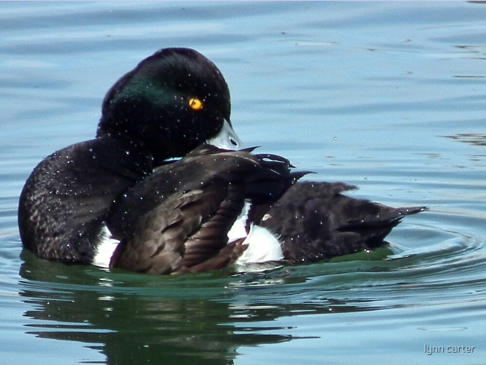Tufted Duck Having A Wash n Brush Up by lynn carter