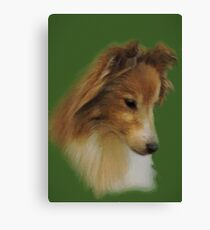 Shy Sheltie Canvas Print