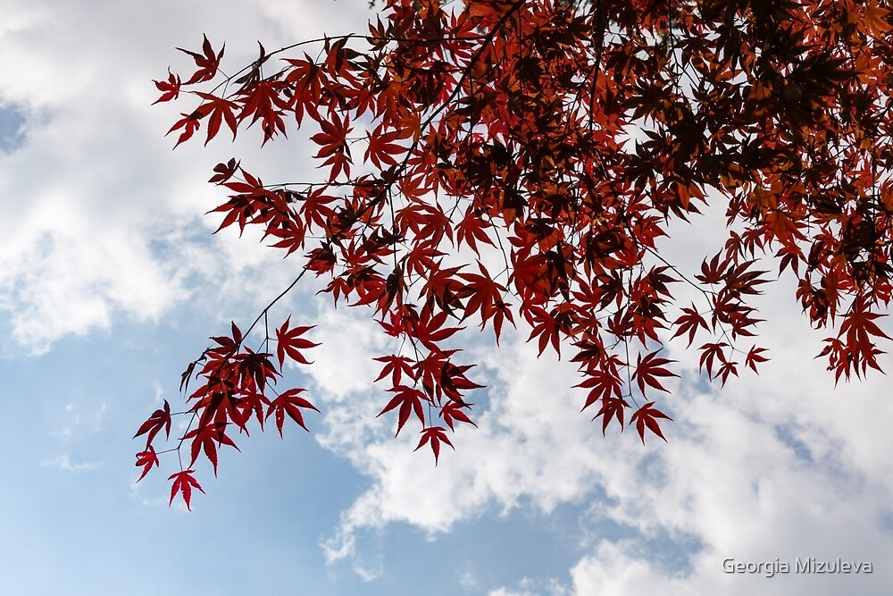 Japanese Maple Red Lace - Horizontal View Downwards Left by Georgia Mizuleva
