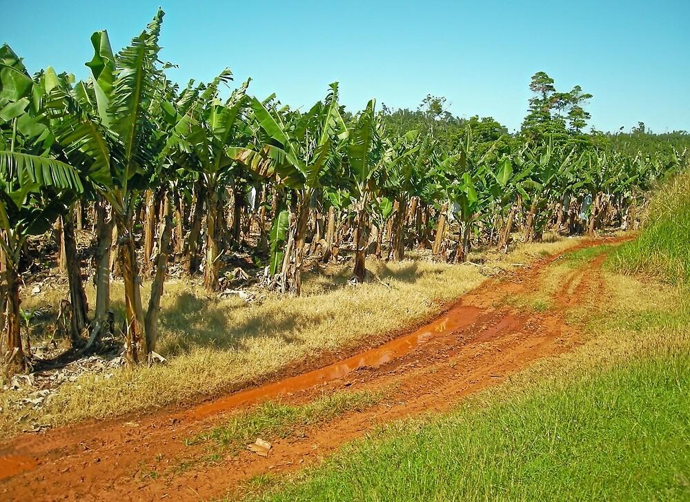 Innisfail Banana Plantation by V1mage