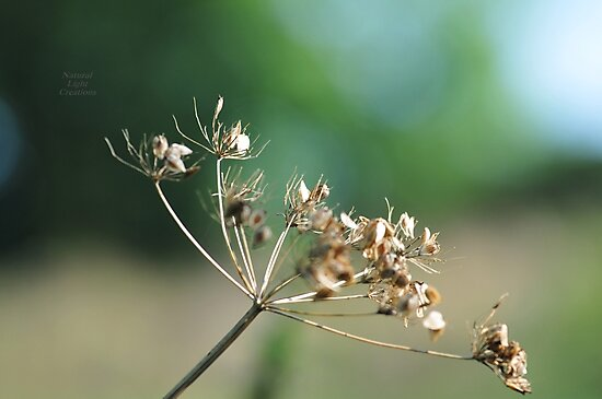 """ Golden Seed Heads "" by Richard Couchman"