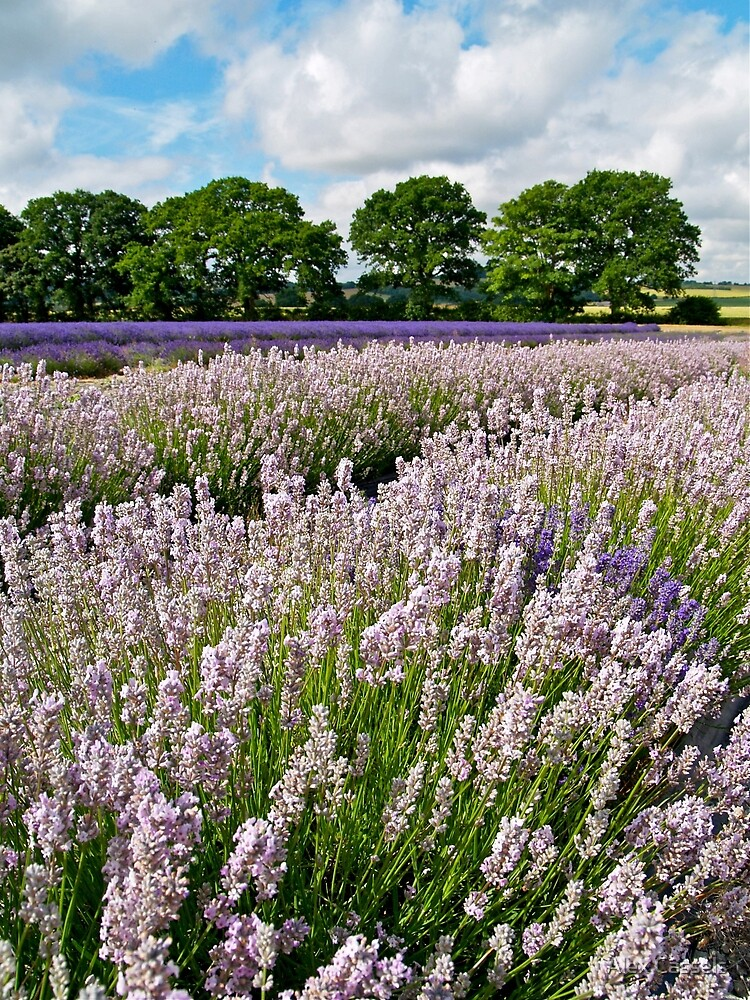 English Lavender Fields by Alex Cassels