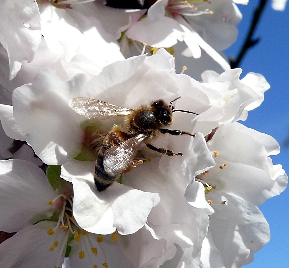Bee on Almond Blossom by Ionman