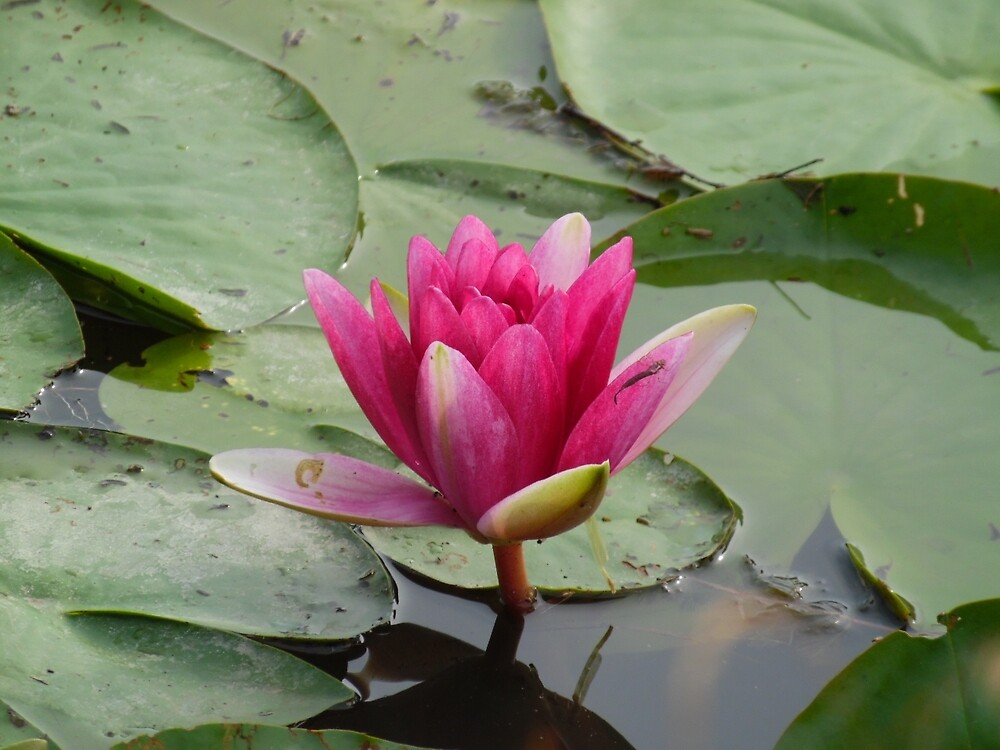 Water lily pond by rachariedel