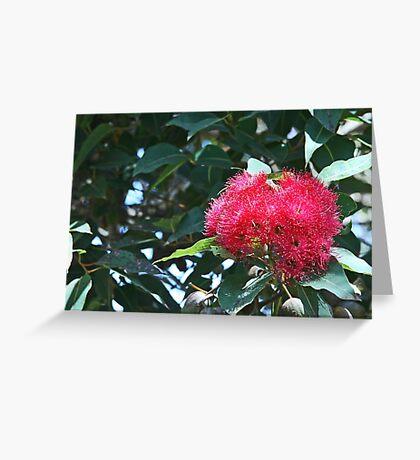 Red flowering gum Greeting Card
