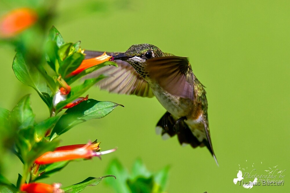 Chiffon Tops Hummer on Cig Plant by TJ Baccari Photography