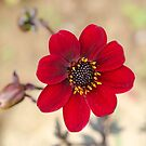 Ruby Red Dahlia by Janice Heppenstall
