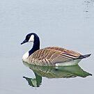 Canadian Goose by kkphoto1