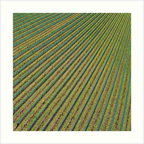 Vineyard by Kevin Lajoie