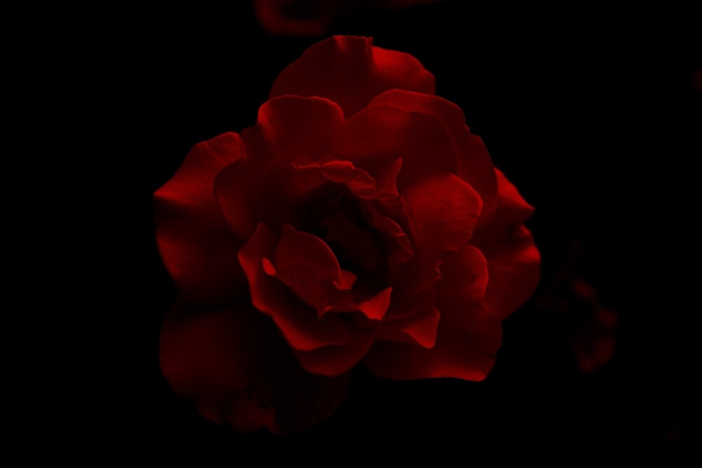 Red Rose by imhunterjkennon