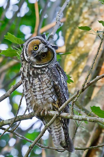 Curious Juvenile Long-eared Owl by Tom Talbott