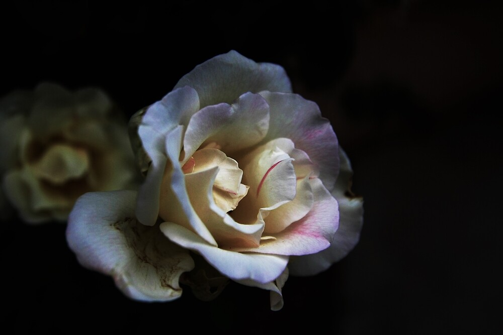 white rose by imhunterjkennon