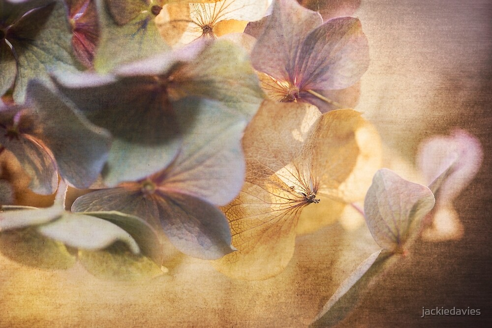 Fading Hydrangea by jackiedavies