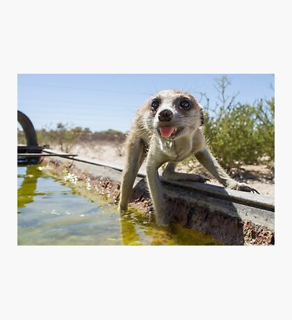 A meerkat drinks Photographic Print