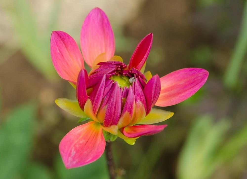 Dahlia: New Beginnings by Janice Heppenstall