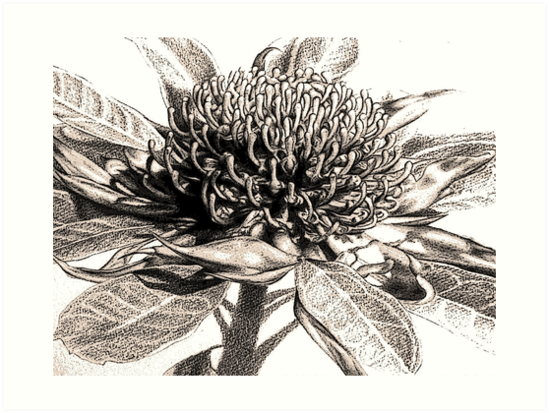 Waratah by Nell Potter