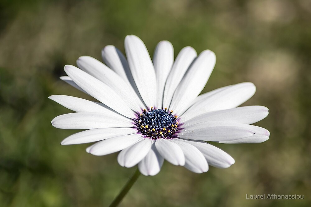 White Daisy Flower by Laurel Athanassiou