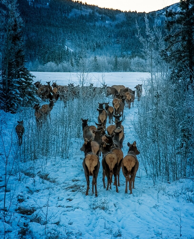 elk herd moving South  by Yukondick