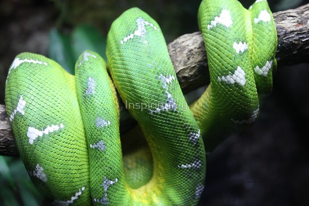 Emerald Tree Boa by InspiringIvy