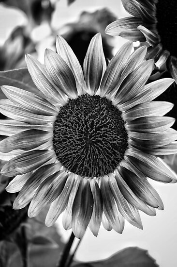 Black and White Sunflower by Rachel Jeffrey