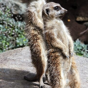 Meerkats Sunbathing by DavidBaker