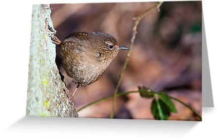 The new Pacific Wren by Tom Talbott