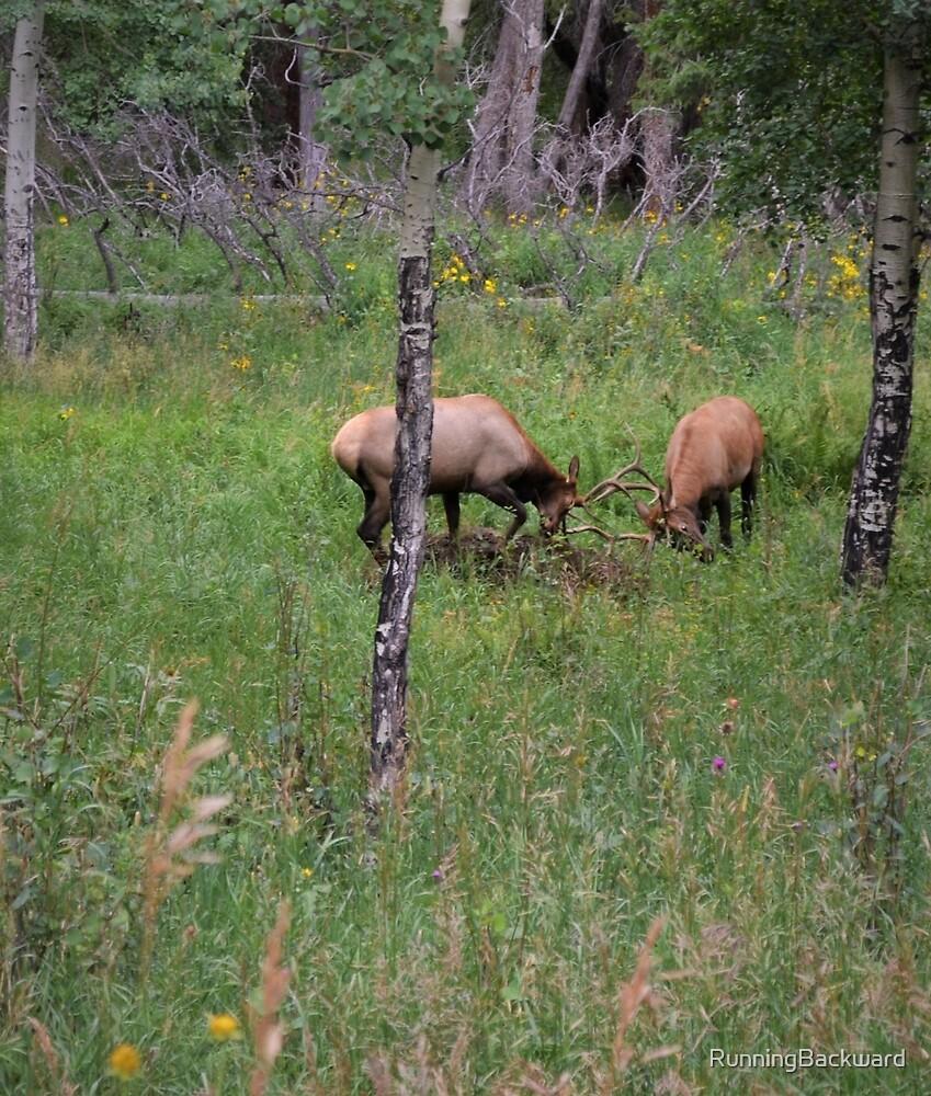 Two elk play by Amanda Huggins