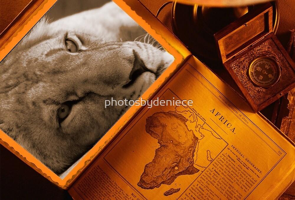 Lioness Stare by photosbydeniece