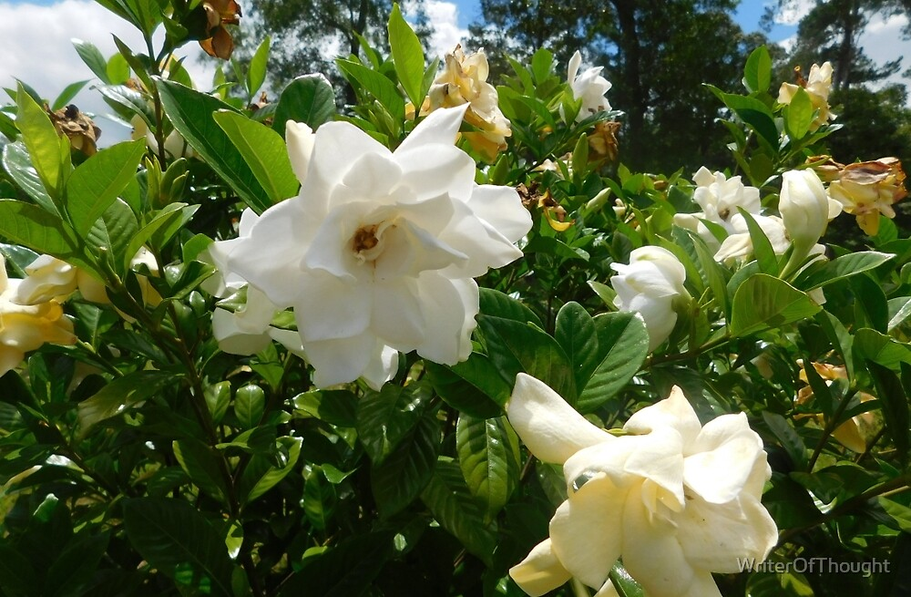 Gardenias in Bloom by WriterOfThought