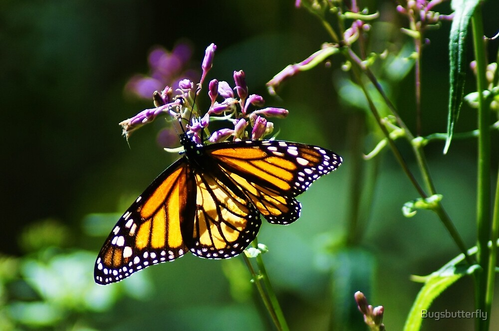 Monarch Butterfly  by Bugsbutterfly