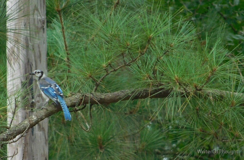 Bluejay on a Branch by WriterOfThought
