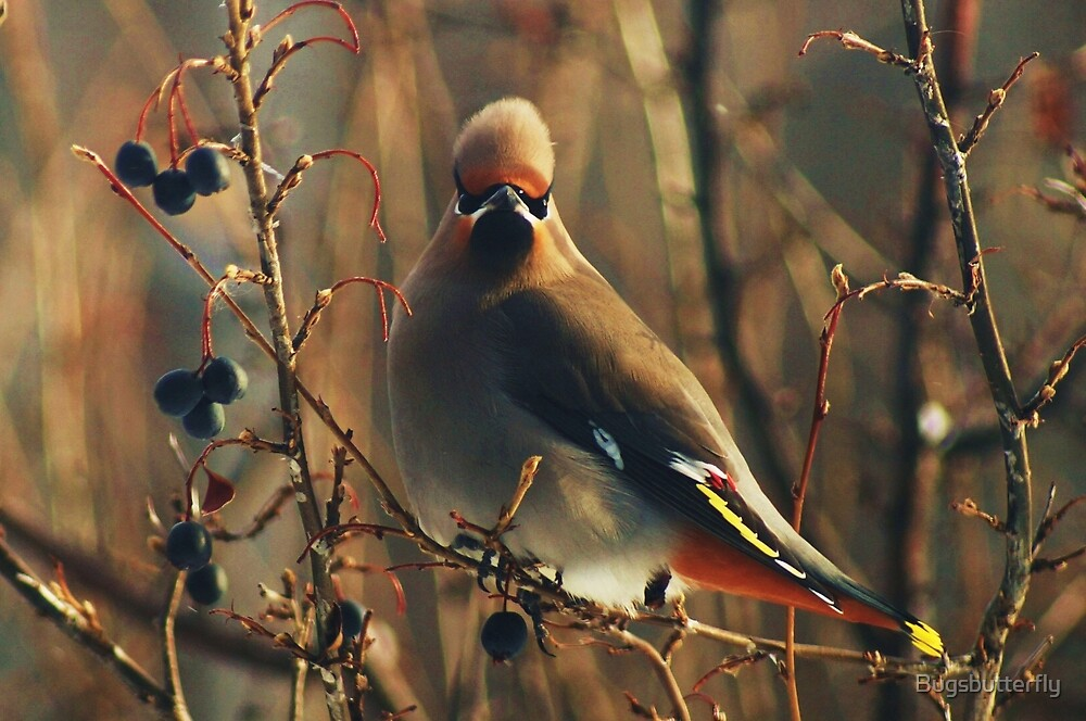 Bohemian Waxwing by Bugsbutterfly