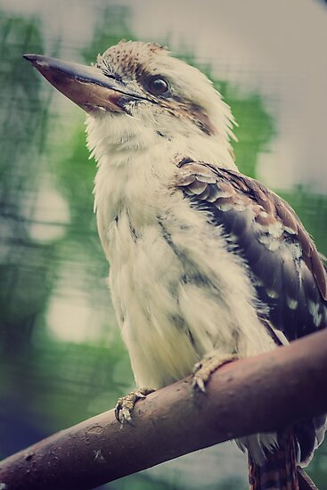 Kookaburra #1 by angrypixel