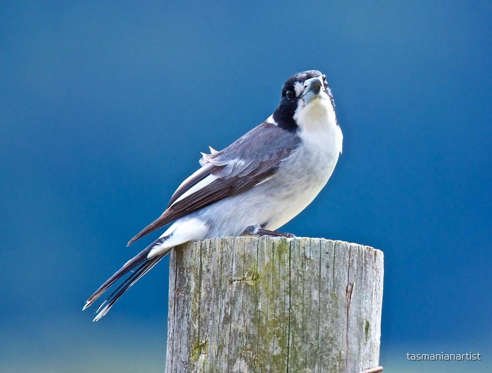 ARTAMIDAE ~ Grey Butcherbird by David Irwin by tasmanianartist
