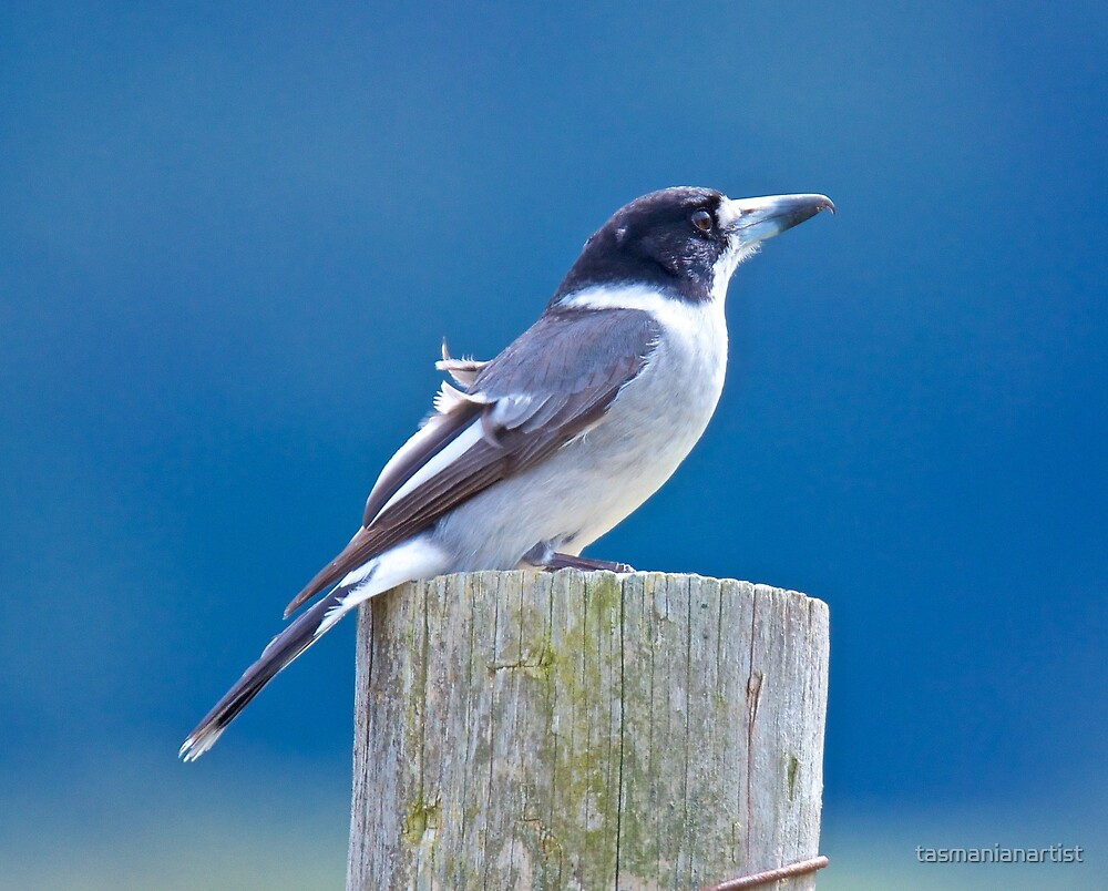 ARTAMIDAE ~ Grey Butcherbird by David Irwin by tasmanianartist