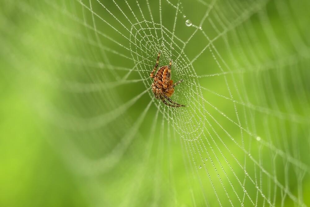 Spider in white webs by Geraldas Galinauskas